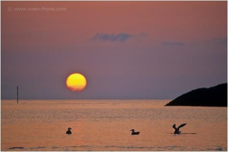 Måker i solnedgang, Merket, Andenes (1990-tallet/P0943)